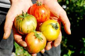 tomatoe hands